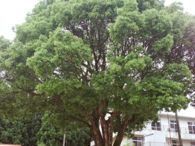 樹齢60年